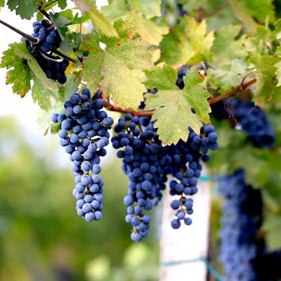 Kékszőlő a Pajdosban