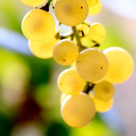 Fehér szőlő a Pajdosban
